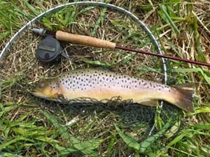 3.5lb Brown Trout